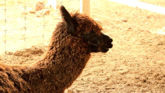 alpaca - human teeth stock videos and b-roll footage