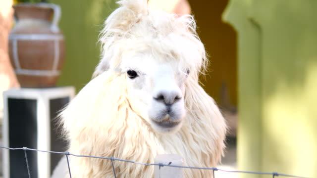vídeos de stock, filmes e b-roll de alpaca - lama