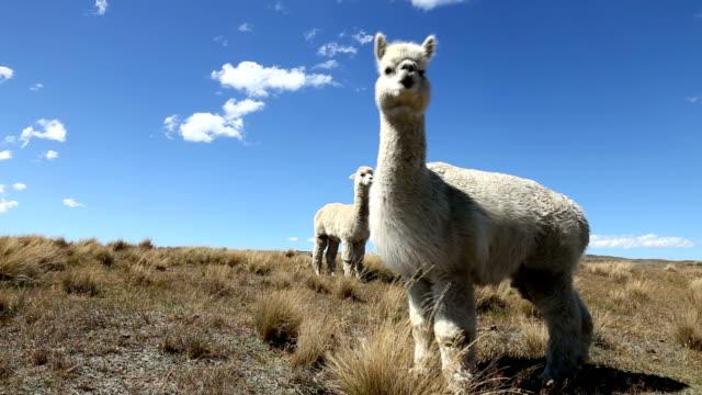 vídeos de stock, filmes e b-roll de alpacas em pasto em céu azul - lama