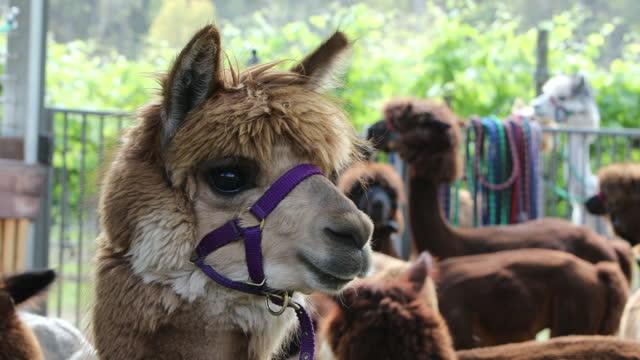 alpacas - bridle stock videos & royalty-free footage