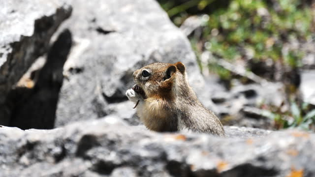 vídeos y material grabado en eventos de stock de ardilla alpina - ardilla listada