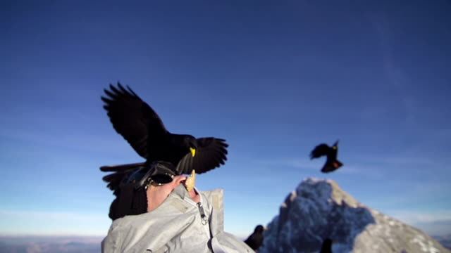 alpine chough takes piece of bread out of snowboarders mouth - perching stock videos & royalty-free footage
