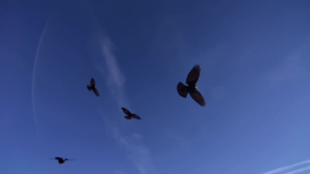 Alpine choughs flying over sky, another one flies over camera