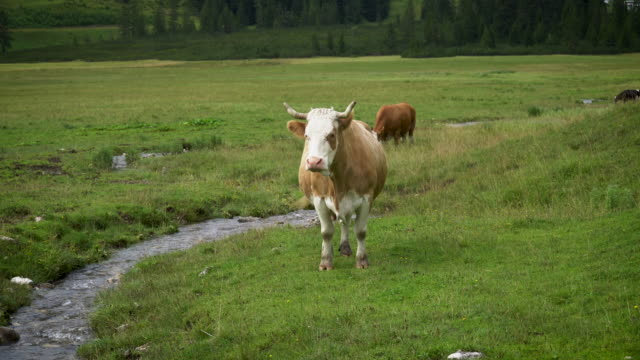 alpine cow at pasture - horned stock videos & royalty-free footage