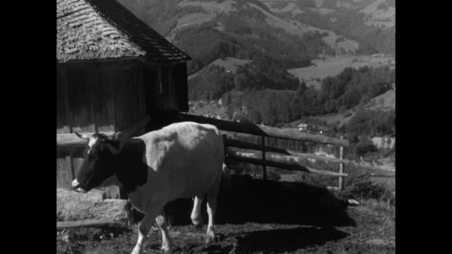 montage alpine cowherd driving dairy cows from byre, hiker carrying load on frame set atop head and shoulders, and hikers on alpine track / switzerland - tradition stock-videos und b-roll-filmmaterial