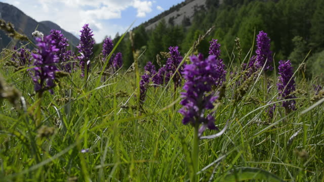 alpine dactylorhiza - 40 o più secondi video stock e b–roll