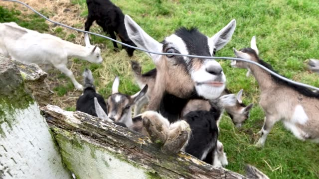 alpine goats sit in a holding pen before being milked at harley farms on april 26 2019 in pescadero california - goat stock videos & royalty-free footage