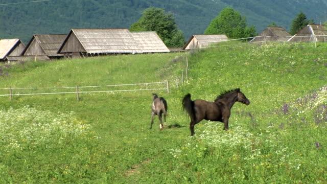 vídeos de stock, filmes e b-roll de hd: alpine cavalos - rancho