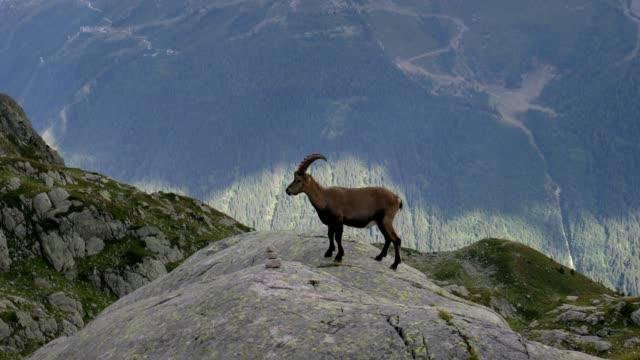 vidéos et rushes de alpine ibex above valley, french alps - bouquetin des alpes