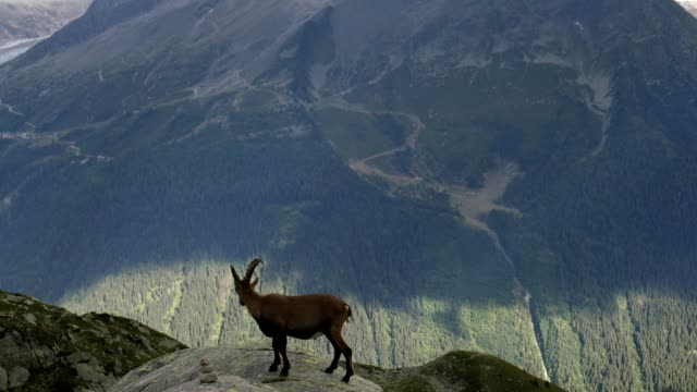vidéos et rushes de alpine ibex above valley, french alps - format hd