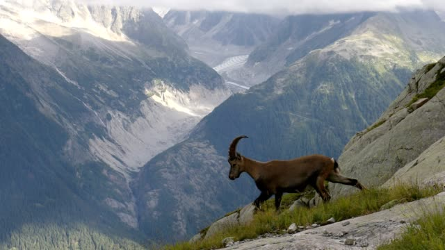 vidéos et rushes de alpine ibex and glacier, french alps - bouquetin des alpes