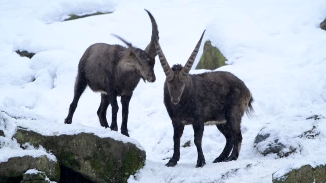 vidéos et rushes de alpine ibex, capra ibex, two bucks measure their strength in winter - bouquetin des alpes