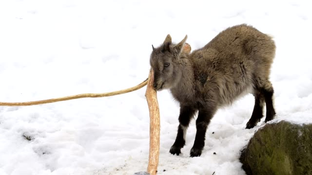 vidéos et rushes de alpine ibex, capra ibex, young animal in winter - bouquetin des alpes