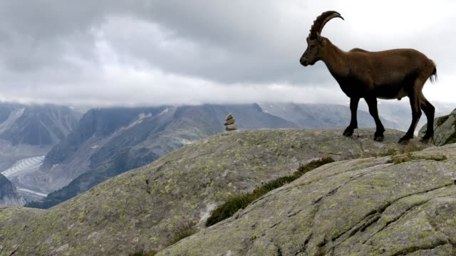 vidéos et rushes de alpine ibex cinemagraph, french alps - bouquetin des alpes