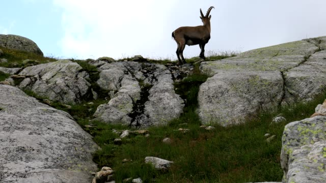 vidéos et rushes de alpine ibex climbing up a mountain, french alps - format hd