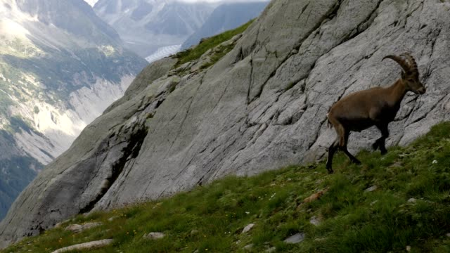 vidéos et rushes de alpine ibex climbing up a mountain with glacier in background, french alps - bouquetin des alpes