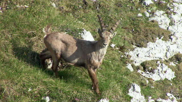 vidéos et rushes de ms, ha, alpine ibex (capra ibex) on hillside, triglav national park, gorenjska, slovenia - bouquetin des alpes