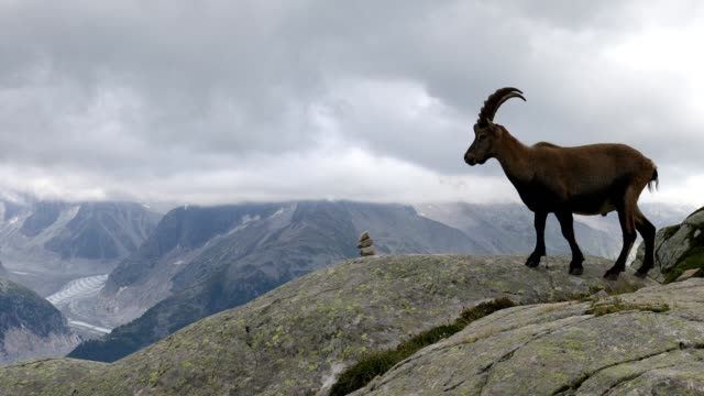 vidéos et rushes de alpine ibex on mountain, french alps - bouquetin des alpes