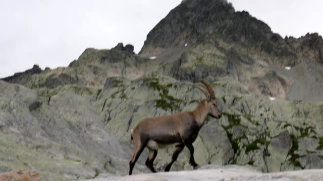 vidéos et rushes de alpine ibex with mountain, french alps - bouquetin des alpes