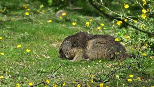 """alpine marmot, marmota marmota, adult eating grass, france, real time"" - grass stock videos & royalty-free footage"