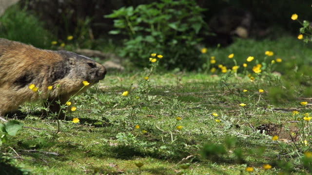 """Alpine Marmot, marmota marmota, Adult running, France, Slow Motion"""