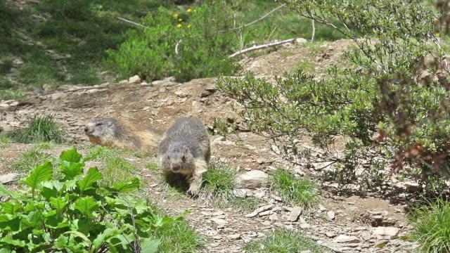 'Alpine Marmot, marmota marmota, Adults at Den Entrance, France, Slow Motion'