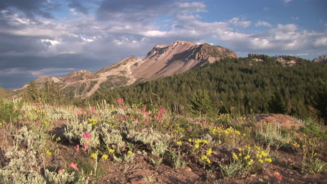 ws alpine mountain flowers with mount morrison in background / mammoth lakes, california, usa - mammoth lakes video stock e b–roll