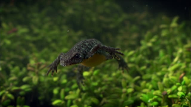 alpine newt diving and larvas under water - salamander stock videos and b-roll footage