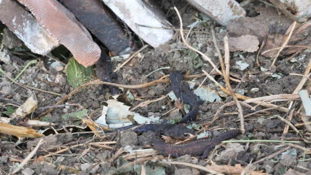 alpine newt family - mollusk stock videos & royalty-free footage