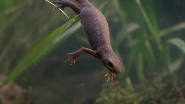 alpine newt swimming, diving and coming up for air - salamander stock videos and b-roll footage