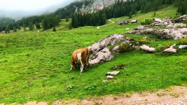 alpine transhumance kuh - österreich stock-videos und b-roll-filmmaterial