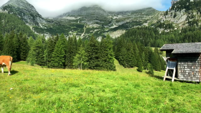 alpine transhumance cow - austria video stock e b–roll