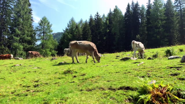 alpine transhumance cow - grazing stock videos & royalty-free footage