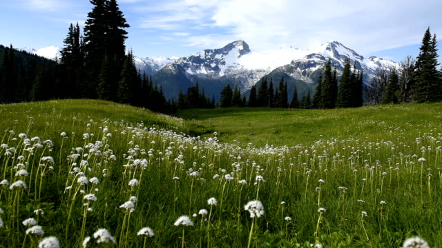 alpine wild flowers flowing in the breeze - snowcapped mountain stock videos & royalty-free footage