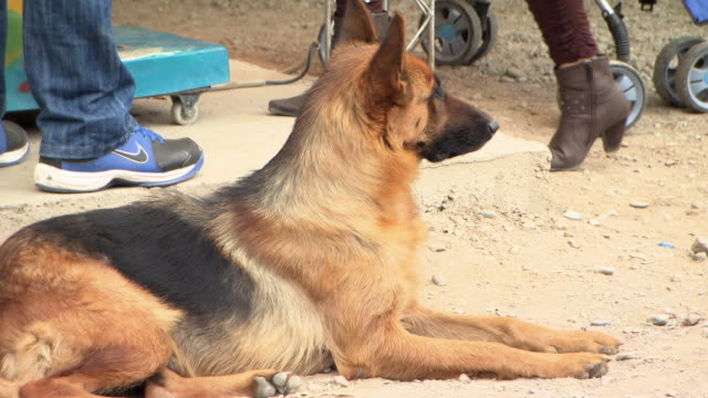 alsatian lying on ground, cochabamba, bolivia - aufblenden stock-videos und b-roll-filmmaterial