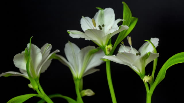 alstroemeria, commonly called the peruvian lily or lily of the incas blooming against black background in a 4k time lapse movie. alstroemeria growing in moving time lapse. stock video - lily stock videos & royalty-free footage