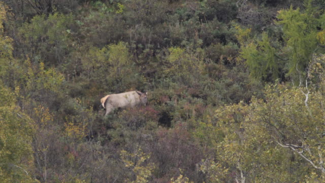 altai wapiti (cervus elaphus sibirica) also known as the altai maral - altai nature reserve - zoology stock videos & royalty-free footage