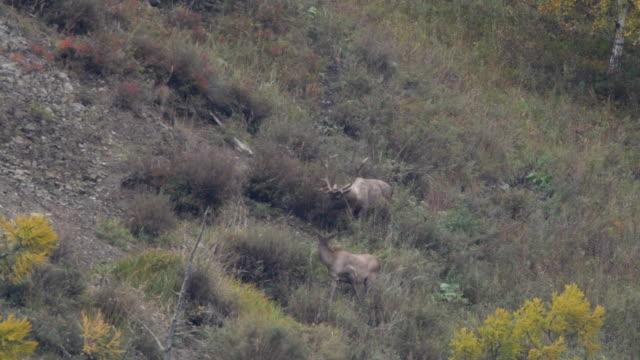 vídeos y material grabado en eventos de stock de altai wapiti (cervus elaphus sibirica) también conocida como la reserva natural altai maral - altai - área silvestre