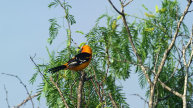 altamira oriole perching in tree - perching stock videos & royalty-free footage