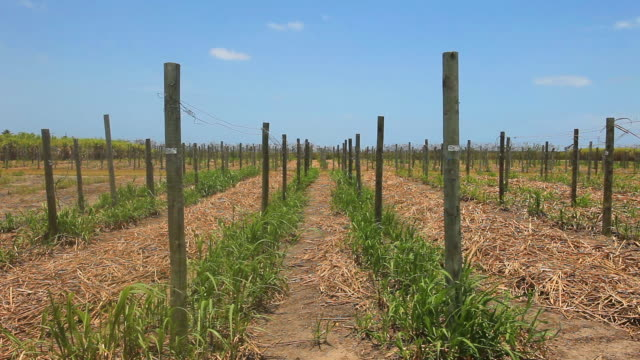 vídeos de stock, filmes e b-roll de alternative energy, sugar cane research, alagoas, brazil - sugar cane