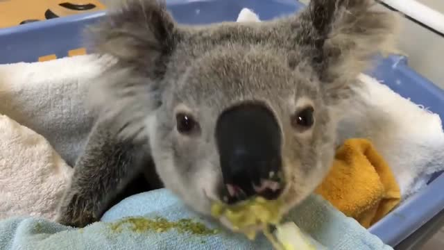 """although suffering from a fractured jaw and cheekbone after a car accident, solstice the koala seemed content to devour a leafy """"sludge"""" at a port... - slimy stock videos & royalty-free footage"""