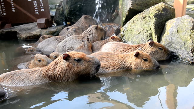 although they would prefer a warmer climate capybaras at himeji central park a safari park in the city are settling for a hot bath amid the late fall... - 温泉点の映像素材/bロール