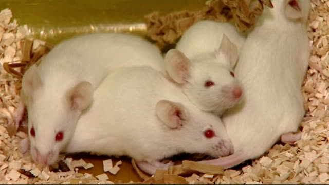Alzheimer's Disease New drug reverses symptoms of the disease in mice T04020818 London Imperial College White mice in plastic container Laboratory...