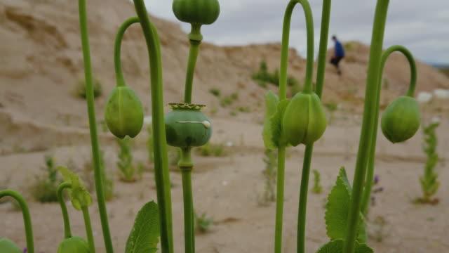 amapola blanca droga opio sola en el campo con arena y cielo nublado