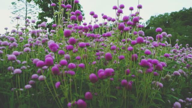 vídeos y material grabado en eventos de stock de flor de amaranto. - mckyartstudio