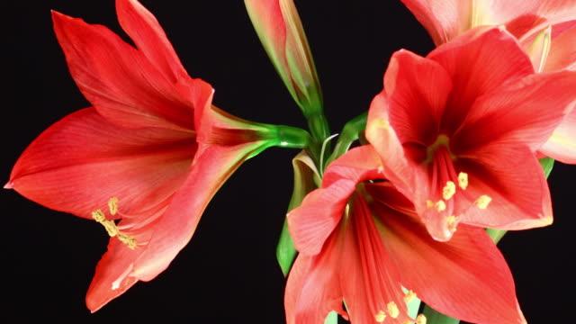 amaryllis ferrari blooming flowers 4k - amaryllis stock videos & royalty-free footage