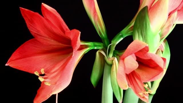 Amaryllis ferrari Blooming