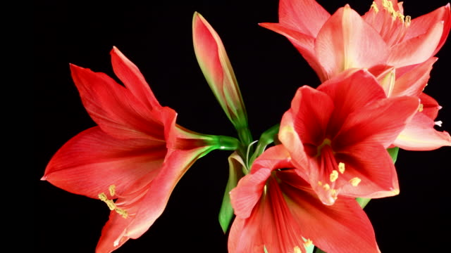 amaryllis ferrari blooming - amaryllis stock videos & royalty-free footage