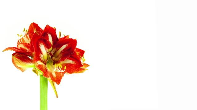 amaryllis; time lapse - amaryllis stock videos & royalty-free footage