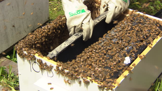Amateur beekeeper inserting frames into beehive New Zealand